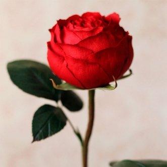 Пионовидные розы поштучно